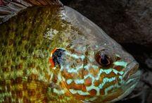 PUMPKINSEED SUNFISH / Pumpkinseed sunfish on the fly.  Fly fishing for pumpkinseed sunfish.
