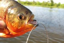 PIRANHA / Fly fishing for piranha.  Piranha on the fly.