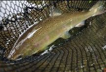 YAMAME TROUT / Fly fishing for yamame trout or cherry trout, i.e., sakuramasu.