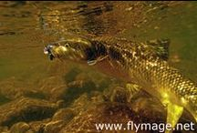 BARBEL / Fly fishing for barbel.  Barbel on the fly.