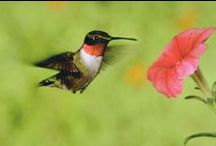 All Things Hummingbird