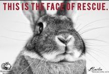 SAVE A BUNNY! / Why Support House Rabbit Society? House Rabbit Society is the only international rabbit rescue and education organization in the world.  We have 31 chapters in 22 states plus Canada and Italy, and educators and fosters in an additional 10 states plus Canada, Hong Kong, Singapore, Japan, and Australia. We also run a one-of-a-kind Adoption and Education Center in Richmond, California.