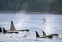 Baleines Canada / L'observation des baleines au Canada est une expérience à vivre. De l'Est à l'Ouest, le Canada est le pays idéal pour observer les baleines.