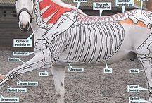Animal anatomy / Study animal anatomy