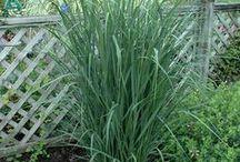 Grasses at Skillins