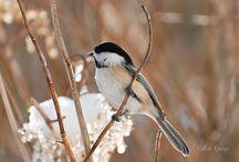 Chickadees / Pretty birds / by Janine Marie