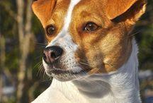 Danish-swedish farmdog / Dansk-svensk gårdshund / The most wonderful dog breed ever:)