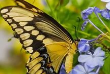 Butterflies, Dragonflies, Moths Ladybirds, Beetles and small beautiful insects. / All these beautiful creatures.