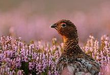 Gamekeeping / Pheasants, Grouse, Pens, Moors - we've got it covered!