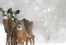 deer / all kinds of deers......