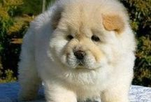 Fluffy Dogs / Cotton ball dogs, chow chow, pom pom / by Hannah Raunio