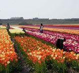 Land van Fluwel / Der Erlebnispark rund um Tulpen und Zwiebelblumen in Nord-Holland, Niederlande -  www.landvanfluwel.nl