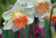"""Narzissen (Narcissus) / Die gelben heißen auch """"Osterglocken"""".Die Narzissen bieten darüberhinaus eine überraschend große Blütenvielfalt für Garten, Terrasse und Balkon. Die fröhlichen Zwiebelblumen blühen im Frühling in Gelb, Weiß, Orange und Apricot. Pflanzzeit ist im Herbst. Blumenzwiebeln gibt's bei www.fluwel.de"""