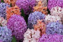 Hyazinthen (Hyacinthus) / Blütenpracht für Garten, Terrasse und Balkon. Die Zwiebelblume ist ein farbenprächtiger Frühlingsbote und duftet dazu auch noch angenehm. Pflanzzeit ist im Herbst. Blumenzwiebeln gibt's bei www.fluwel.de