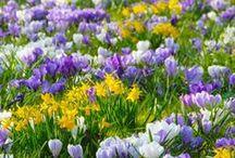 Krokusse (Crocus) / Die Klassiker unter den Frühlingsblumen in Weiß, Gelb und Violett für Garten, Balkon und Terrasse. Pflanzzeit für die Zwiebelblume ist im Herbst. Blumenzwiebeln gibt's bei www.fluwel.de