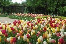 Blumenzwiebel-Mischungen - perfekt abgestimmt / Eine bunte Vielfalt an Pflanzkombinationen aus verschiedenen Zwiebelblumen: Tulpen, Narzissen, Hyazinthen... Blumenzwiebeln gibt's bei www.fluwel.de