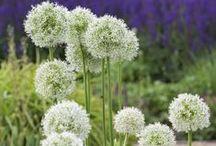 Zierlauch (Allium) / Zierlauch-Blütenkugeln in Violett, Weiß, Gelb und Grün. Alliumzwiebeln werden im Herbst im Garten gepflanzt. Es gibt Sorten mit kleinen und großen Blüten. Die robusten Zwiebelblumen blühen im späten Frühling und Sommer. Blumenzwiebeln gibt's bei www.fluwel.de