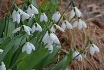 Schneeglöckchen (Galanthus) / Besonders schöne Schneeglöckchen, die sich sehr gut für den Garten eignen. Der Frühlingsblüher wird im Herbst als Blumenzwiebel gepflanzt. Blumenzwiebeln gibt's bei www.fluwel.de