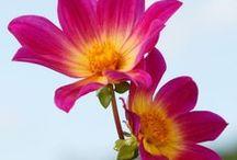 Dahlien (Dahlia) / Dahlien sind wundervolle Gartenblumen, die den ganzen Sommer bis zum ersten Frost blühen. Die Knollen werden im Frühling im Garten gepflanzt - nach den Eisheiligen. Davor kann man sie in Töpfen vorziehen. Dahlienknollen und viele weitere Blumenzwiebeln gibt's bei www.fluwel.de