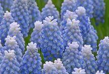 Traubenhyazinthen (Muscari) / Traubenhyazinthen sind kleine, aber feine Zwiebelblumen. Die blühenden Frühlingsboten in Blau und Weiß sind ein Highlight für den Garten, die Terrasse oder den Balkon. Pflanzzeit ist im Herbst. Blumenzwiebeln gibt's bei www.fluwel.de