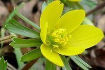 Winterlinge (Eranthis hyemalis) / Winterlinge gehören mit ihren gelben Blüten zu den ersten Frühlingsboten der Gartensaison. Die Zwiebelblume fühlt sich auch an schattigen Standorten wohl, als Schattenpflanze im Schattengarten. Pflanzzeit ist im Herbst. Blumenzwiebeln gibt's bei www.fluwel.de
