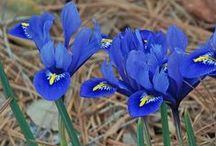 Zwergiris (Iris reticulata) / Auch Netzblatt-Schwertlilie genannt. Sie ist einer der attraktivsten Frühlingsblüher für Garten, Terrasse oder Balkon. Die Zwiebelblume wird im Herbst gepflanzt. Blumenzwiebeln gibt's bei www.fluwel.de