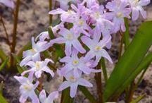 Schneestolz (Chionodoxa) / Auch Schneeglanz genannt. Die zuckersüße Zwiebelblume blüht im Frühjahr blau, weiß oder rosa. Gepflanzt wird sie im Herbst. Blumenzwiebeln gibt's bei www.fluwel.de