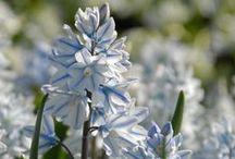 Puschkinien (Puschkinia libanotica) / Auch Libanon-Kegelblume genannt. Die Zwiebelblume blüht im Frühling in Weiß-Hellblau und wird im Herbst gepflanzt. Blumenzwiebeln gibt's bei www.fluwel.de