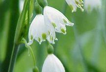 Knotenblumen (Leucojum aestivum) / Die Knotenblume, auch Sommer-Knotenblume genannt, trägt weiße, glockenförmige Blüten und wird im Herbst als Blumenzwiebel im Garten gepflanzt. Die beliebte Zwiebelblume kann man auch in Gefäßen auf Terrasse oder Balkon wachsen lassen. Pfalnzzeit ist im Herbst. Blumenzwiebeln gibt's bei www.fluwel.de