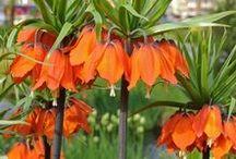 Kaiserkronen (Fritillaria imperialis) / Die Kaiserkrone gehört zu den imposantesten Zwiebelblumen für den Garten. Gepflanzt wird sie als Blumenzwiebel im Herbst. Blumenzwiebeln gibt's bei www.fluwel.de
