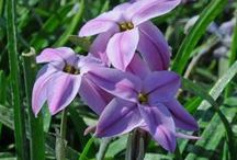 Frühlingssterne (Ipheion) / Auch Sternblumen genannt. Die kleinen Zwiebelblumen blühen im April / Mai weiß, violett oder blau. Hübscher Frühlingsbote für den Garten. Pflanzzeit ist im Herbst. Blumenzwiebeln gibt's bei www.fluwel.de