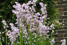 Hasenglöckchen (Hyacinthoides) / Das Hasenglöckchen blüht im Frühling - im Garten oder im Kübel aus Balkon und Terrasse. Die glockigen Blüten der hübschen Zwiebelblume gibt es in Blau, Weiß und Rosa. Pflanzzeit für die Blumenzwiebeln ist im Herbst. Blumenzwiebeln gibt's bei www.fluwel.de