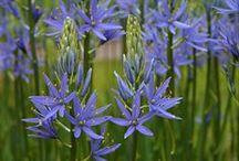 Prärielilien (Camassia leichtlinii) / Prärielilien blühen im Frühling in Blau, Rosa und Weiß. Pflanzzeit für die Blumenzwiebeln im Garten ist im Herbst. Die Zwiebelblumen blühen in jedem Jahr neu und verwildern recht leicht. Auch für Kübel auf Balkon und Terrasse geeignet. Blumenzwiebeln gibt's bei www.fluwel.de