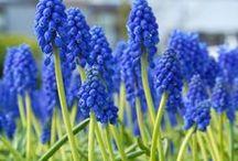 Blau / Alles für einen Neptungarten: Zwiebelblumen mit blauen Blüten - Blumenzwiebeln für blaue Gärten - Hyazinthen, Muscari, Iris, Camassia, Ipheion, Chionodoxa, Scilla, Hyacinthoides... gibt's bei www.fluwel.de
