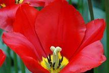Rot / Alles für einen Flamencogarten: Zwiebelblumen mit roten Blüten - Blumenzwiebeln für rote Gärten - Tulpen, Dahlien, Lilien... gibt's bei www.fluwel.de