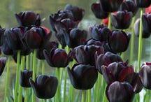 Schwarz / Alles für einen Schokoladengarten: Zwiebelblumen mit (fast) schwarzen Blüten - Blumenzwiebeln für (fast) schwarze Gärten - Tulpen, Fritillaria persica, Dahlien... gibt's bei www.fluwel.de