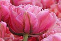 Rosa / Pink / Alles für einen Zuckerwattegarten. Zwiebelblumen mit rosa / pinken Blüten - Blumenzwiebeln für rosa / pinke Gärten - Tulpen, Narzissen, Hyazinthen, Schneestolz, Hasenglöckchen, Allium, Lilien, Dahlien... gibt's bei www.fluwel.de