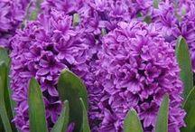 Violett / Lila / Alles für einen Purple-Rain-Garten: Zwiebelblumen mit violetten, lila Blüten - Blumenzwiebeln für violette, lila Gärten - Tulpen, Hyazinthen, Krokusse, Ipheion, Allium... gibt's bei www.fluwel.de