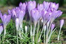 Duftgarten / Duftende Pflanzen: Manche Zwiebelblumen betören nicht nur durch ihre schönen Blüten, sondern auch mit einem angenehmen Duft: Tulpen, Narzissen, Hyazinthen, Krokusse, Traubenhyazinthen, Fritillarien... Blumenzwiebeln gibt's bei www.fluwel.de