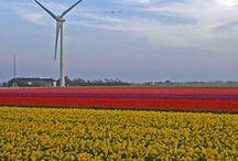 Blumenzwiebelfelder / Farben pur kann man am besten in den blühenden Blumenzwiebelfeldern in Holland / in den Niederlanden erleben. Blumenzwiebeln und Knollen für den eigenen Garten gibt's bei www.fluwel.de