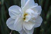 Alte Pflanzensorten / Historische Zwiebelblumen: Welche Blütenfarben- und formen, welche Arten und Sorten beliebt sind, richtet sich nach dem jeweiligen Zeitgeist. Hier könnt Ihr einige Vintage-Schätzchen entdecken. Blumenzwiebeln gibt's bei www.fluwel.de