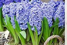 Gärtnern in Gefäßen / Blühende Zwiebelblumen in Töpfen, Kisten, Kübeln und anderen Gefäßen - für Balkon und Terrasse. Blumenzwiebeln gibt's bei www.fluwel.de