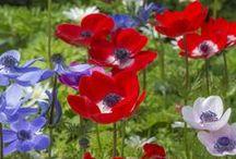 Kronenanemonen (Anemona coronaria) / Kronenanemonen, auch Windblumen genannt, sind farbstarke Blüten für den Sommergarten. Besonders schön kommen sie in einer Blumenwiese, einem Cottage Garden oder Bauerngarten zur Geltung. Gepflanzt werden sie als Knollen im Frühling. Knollen gibt's bei www.fluwel.de