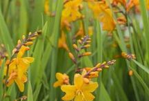 Montbretien (Crocosmia) / Montbretien sind grazile Sommerblüher. Auf den langen, schmalen Stielen sitzen viele mittelgroße Blüten. Gefplanzt werden sie als Knollen im Frühling. Knollen gibt's bei www.fluwel.de.
