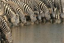 Black Spot&Zebra Stripe