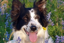 BlissWood's Border Collies