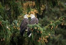 Eagles & Magestic Birds of Prey