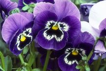 PANSY AFFAIR 2 / Gotta love those cute little faces,, / by Gloria Cain