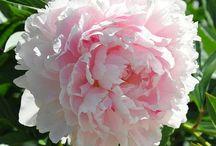Peony Roses / by Gloria Cain