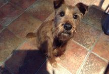 Irish terriers / Mostly our late joyful ginger 'Gen'! Aka Saredon Royal Genesis  - 25 Jan 2003 to 9 Sept 2017. Well that was the intention ...... She was both granddaughter and great granddaughter of Ch. Montelle Famous Star